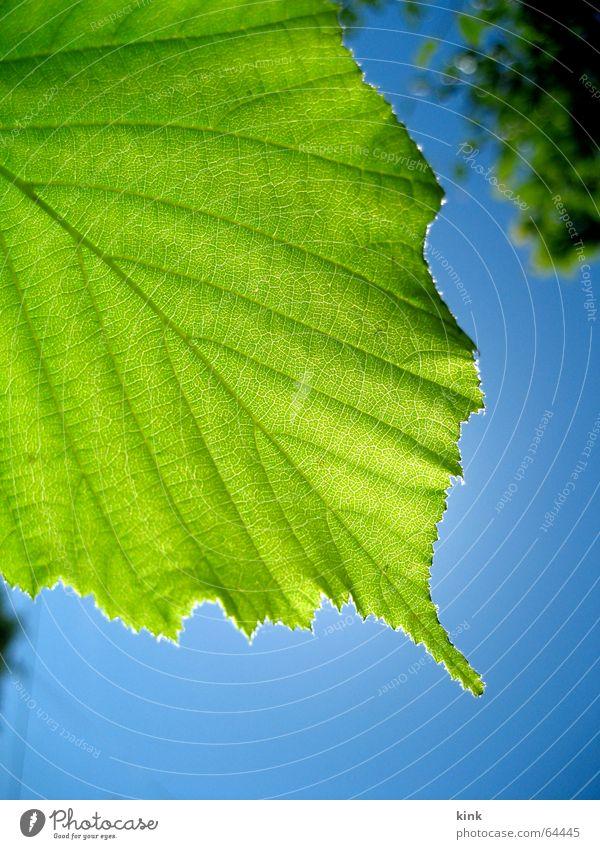 Green leaf Blatt grün Licht Baum blau Gegenlicht Silhouette Himmel