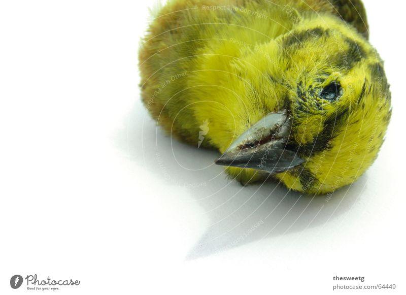 Toter Vogel 3 Tod Vogel fahren Ende Feder Flüssigkeit Sturz Abschied Desaster Schnabel Absturz Spatz Spaßvogel Eulenvögel Daunen Kauz