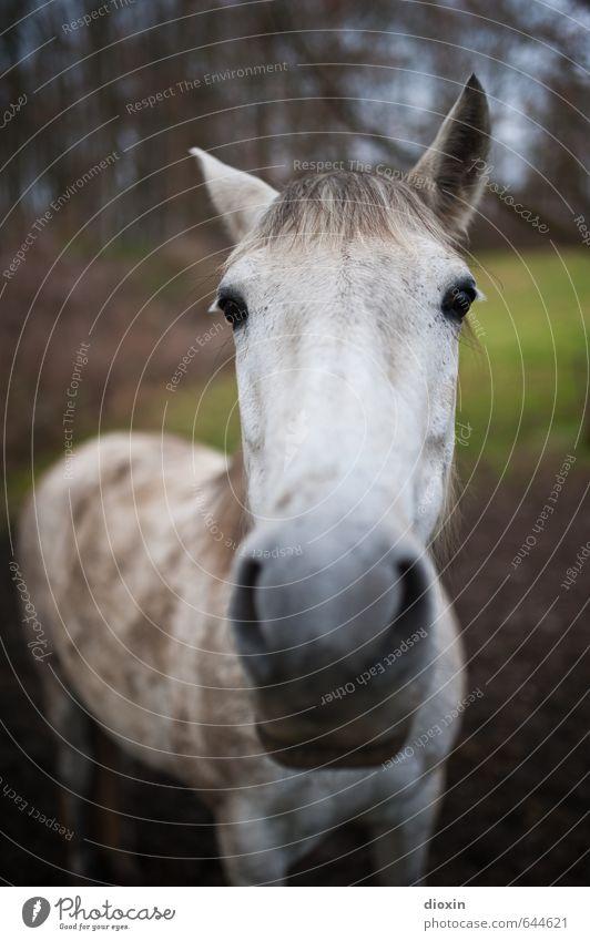 Samtschnauze Wiese Tier Nutztier Pferd Schimmel 1 Blick stehen Freundlichkeit schön kuschlig natürlich Farbfoto Außenaufnahme Menschenleer Tag