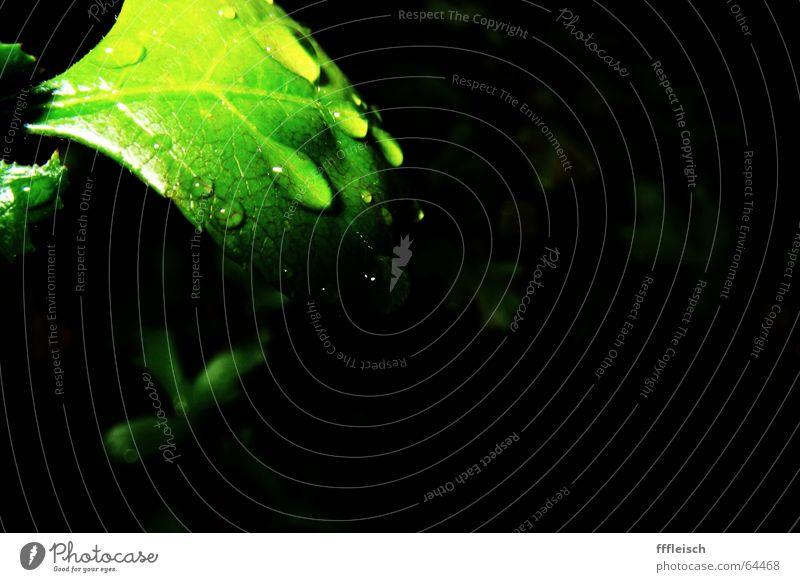 when the rain is gone Blatt Pflanze grün dunkel Regen Wasser Wassertropfen