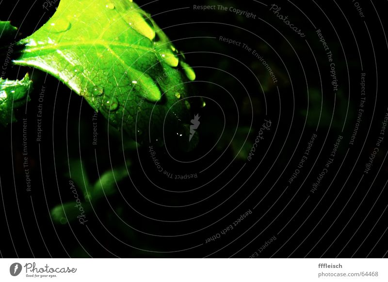 when the rain is gone Wasser grün Pflanze Blatt dunkel Regen Wassertropfen