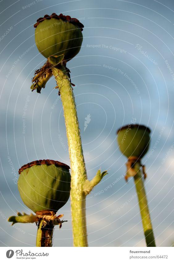 3x Mohn Blume Pflanze Sommer Garten Samen Fortpflanzung
