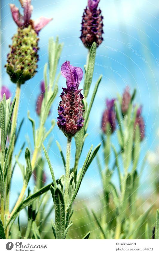Schopflavendel Himmel Blume blau Pflanze Sommer Blüte Garten violett Duft Südfrankreich Blauer Himmel Lavendel Heilpflanzen Provence