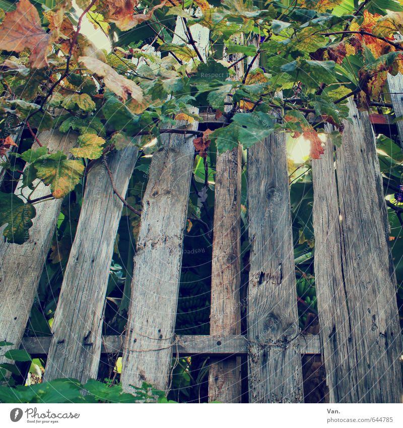 Alt wie ein Zaun... Natur alt grün Pflanze Herbst grau Sträucher Wein Ranke Bruch verrotten Bretterzaun