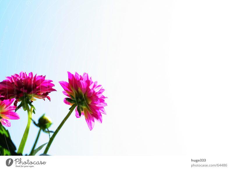 Dahlia 1 Dahlien Korbblütengewächs Zierpflanze Blume Blüte rot rosa Himmel Verlauf Sommer zart rein dahlia zuchtpflanze bloom hell sky flower red blue blau