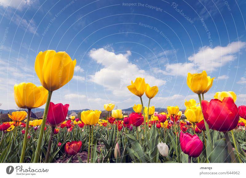 Auswuchs Umwelt Natur Himmel Wolken Horizont Frühling Schönes Wetter Blume Tulpenfeld Tulpenblüte Blühend Wachstum Duft nah schön blau gelb grün rot Stimmung