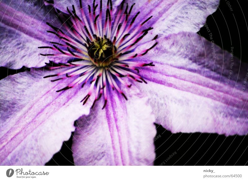 purple dingsda Blume Pflanze Sommer Blatt schwarz Garten rosa Wachstum violett Stempel