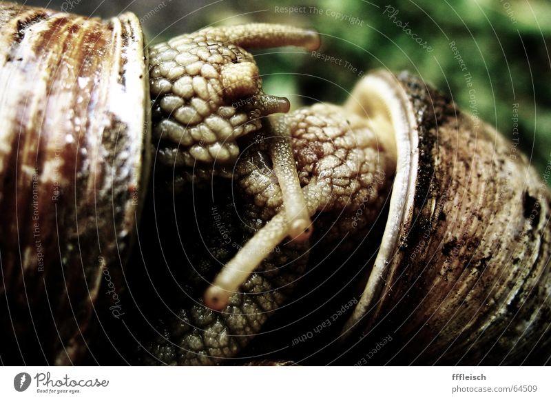 Schnecken-Erotik Tier Haus Ekel Fühler langsam Fortpflanzung Schneckenhaus Schleim