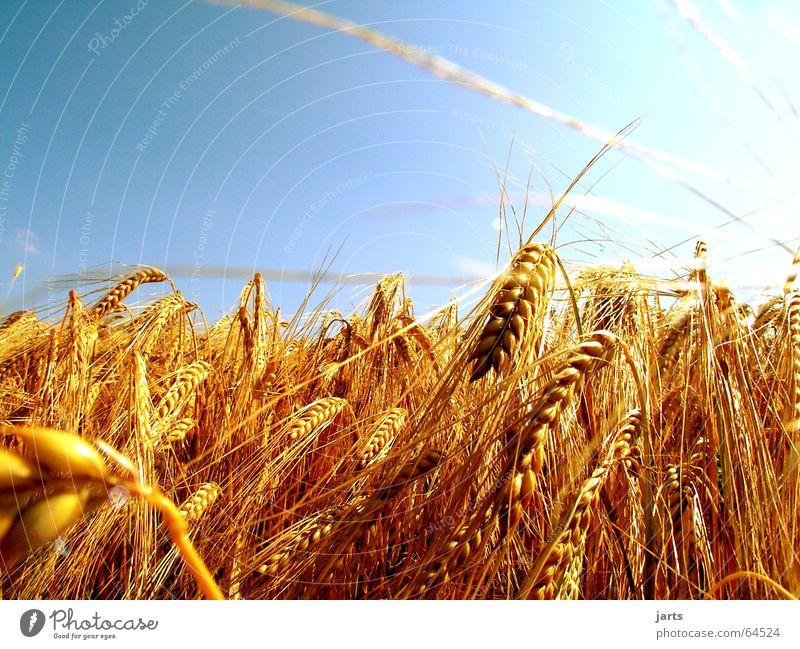 ...leuchtendes Ährengold.... Natur Himmel Sonne blau Sommer Feld Landwirtschaft Korn Ähren