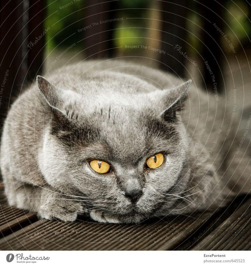 guck, der King Tier Haustier Katze Tiergesicht Fell Pfote 1 liegen Blick ästhetisch Freundlichkeit glänzend schön braun gelb grau Zufriedenheit Gelassenheit Ohr