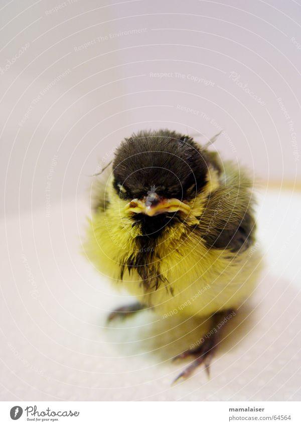 Fritz von Drausen Vogel böse gelb schwarz süß niedlich Tier richtig böse angepisst alles scheiße warum ich findelkind sprößling jungspunnt kücken kleiner vogel