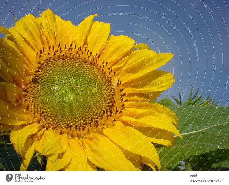 Sonnenblume Sonne Blume Sonnenblume