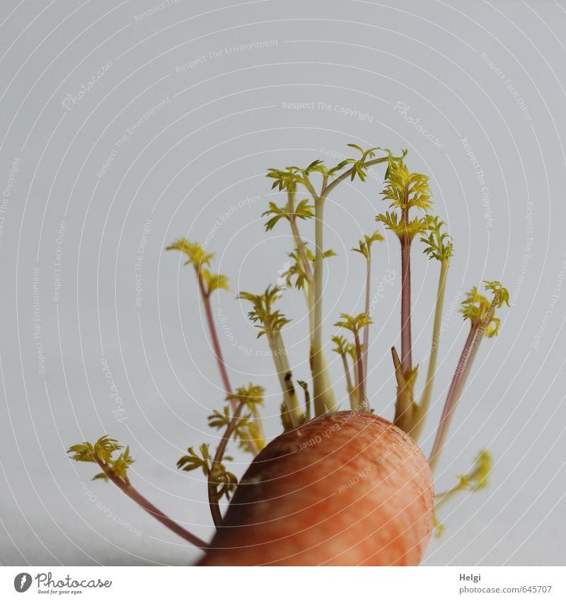 zweites Leben... Lebensmittel Gemüse Möhre Pflanze alt liegen Wachstum authentisch außergewöhnlich einfach einzigartig natürlich grün orange Kraft Hoffnung