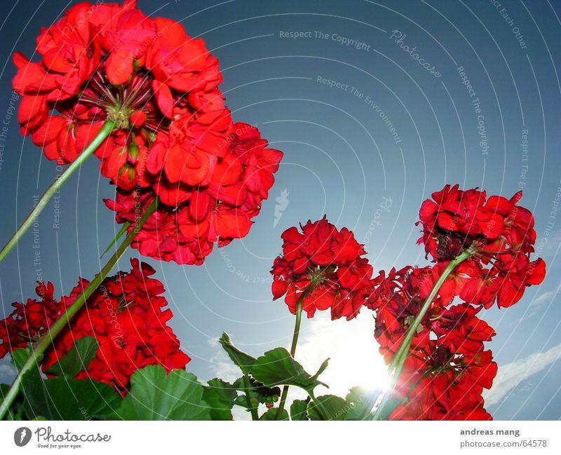 Immer der Sonne entgegen... und noch weiter Blume rot Blatt grün Himmel Sonnenstrahlen Licht flower flowers red leaf leafs sky sun light hoch