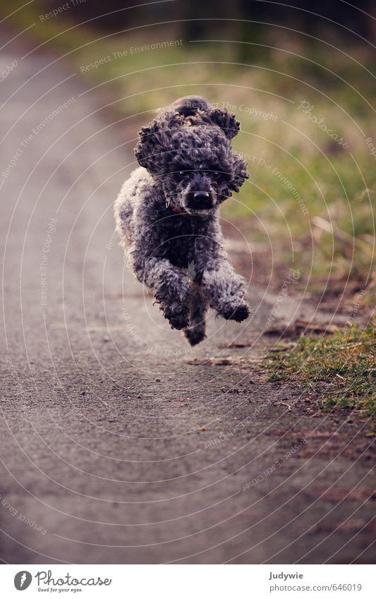 Lauf Toni, lauf! Freude Leben Sport Fitness Sport-Training Umwelt Natur Herbst Wiese Verkehr Straße Wege & Pfade schwarzhaarig Locken Tier Haustier Hund Pudel