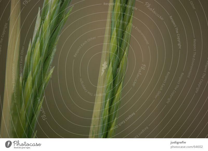 Ähren Gras grün Wachstum Strand Blüte Sommer Küste rispen Samen Sand Stranddüne Linie Strukturen & Formen Spitze Pollen