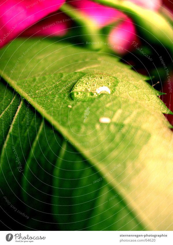 drops Rose Blume Blatt grün rosa mehrfarbig Wassertropfen Seil Makroaufnahme Pflanze Natur