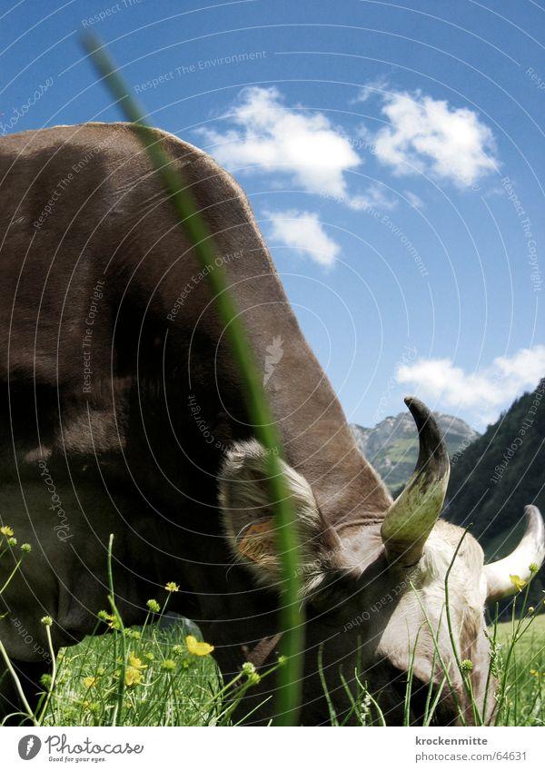 abgrasend Kuh Wiese grün Wolken Halm Fressen Schweiz Rind Milchkuh Blumenwiese Sommer Weide Himmel Horn Berge u. Gebirge Alm Ernährung