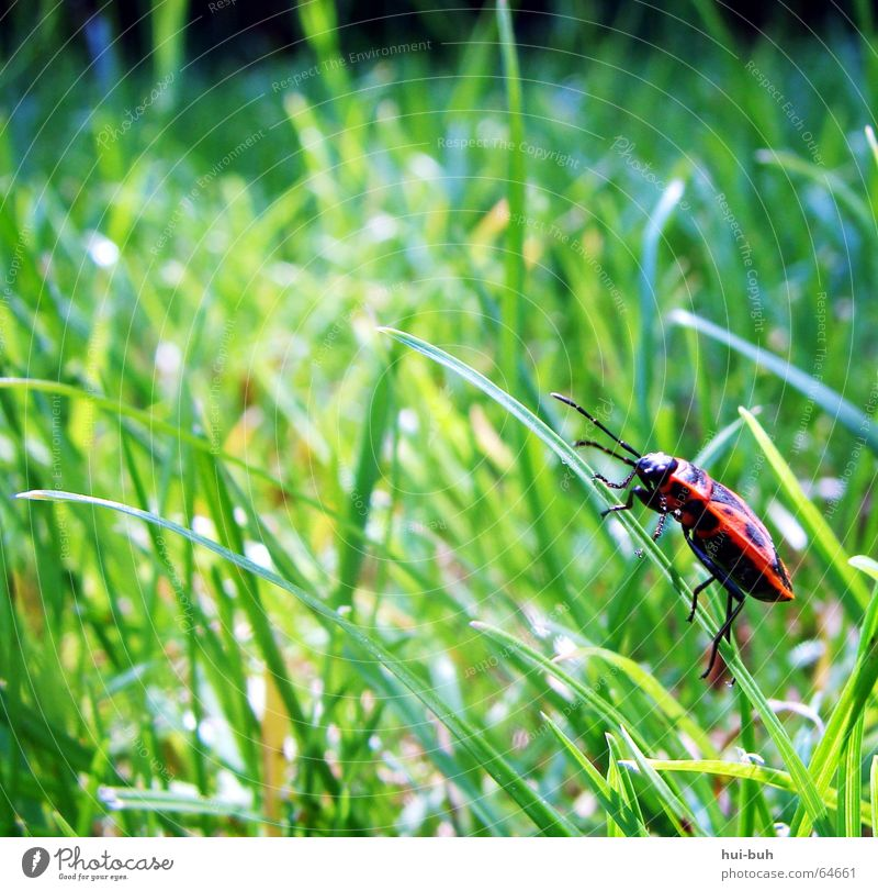 käferhalm grün rot Einsamkeit Tier springen Gras Beine sitzen mehrere viele Halm Kanu Käfer Feuerkäfer