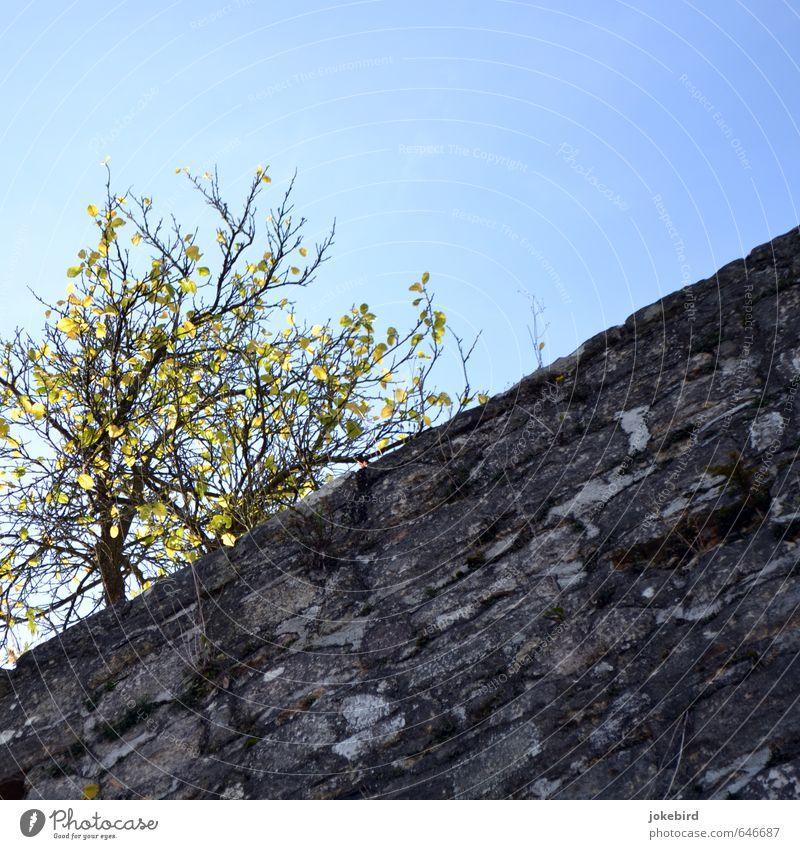 Stadtmauer Wolkenloser Himmel Herbst Baum Moos Herbstfärbung Herbstlaub herbstlich Mauer Wand Stein blau diagonal leuchtend grün leuchtende Farben Farbfoto