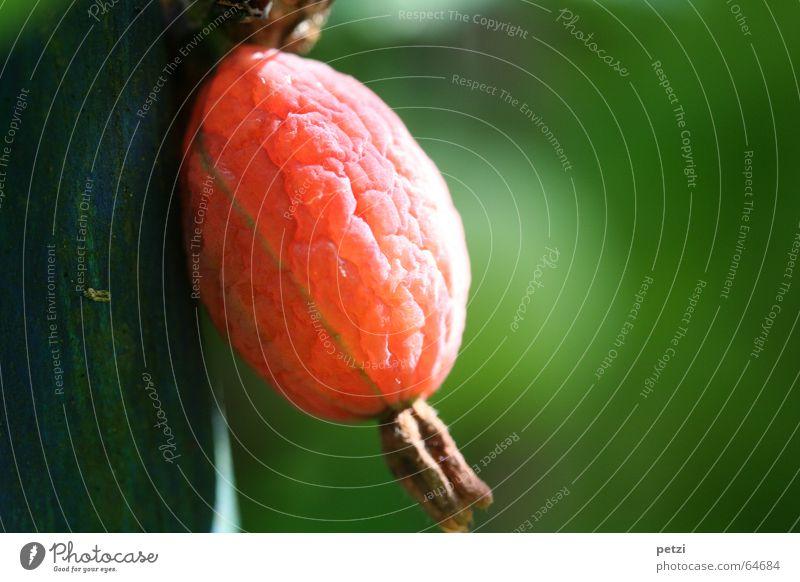 Stachelbeere Frucht Sonne Garten Sträucher groß blau grün rot Stachelbeeren Falte Beleuchtung erleuchten planze Baumstamm stüzpfahl Beeren beerenhaut Furche