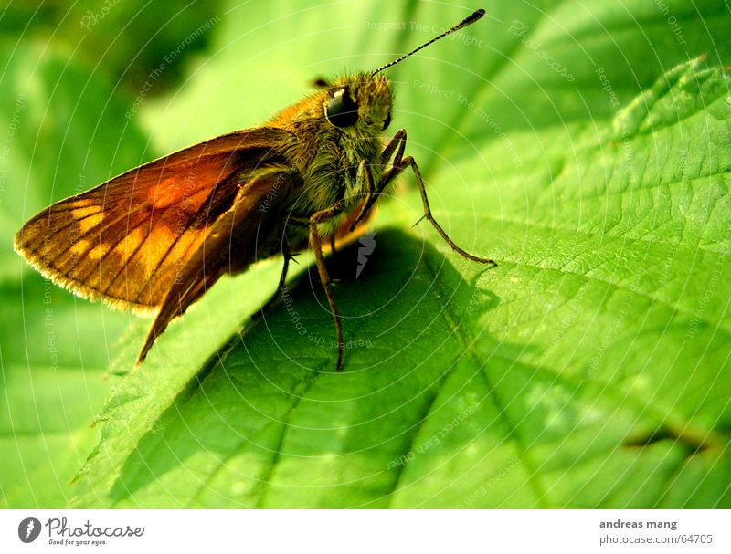 Chilling in the green grün Blatt Auge Tier Beine warten sitzen laufen Flügel Insekt Schmetterling krabbeln Fühler