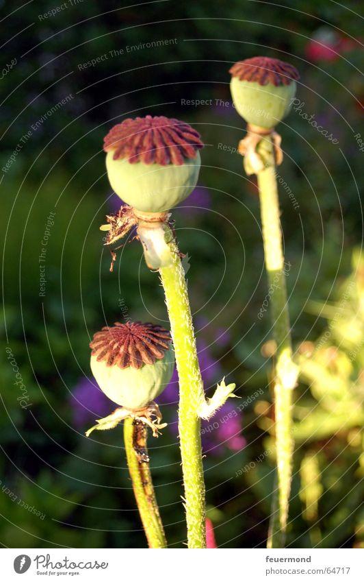 Und nocheinmal die drei Freunde... Mohn grün Blüte Herbst Blume Garten Pflanze Samen Sonne garden flower herstlich