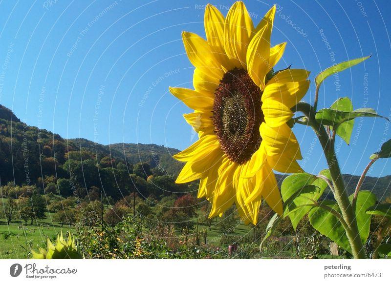 sunflower Sonnenblume