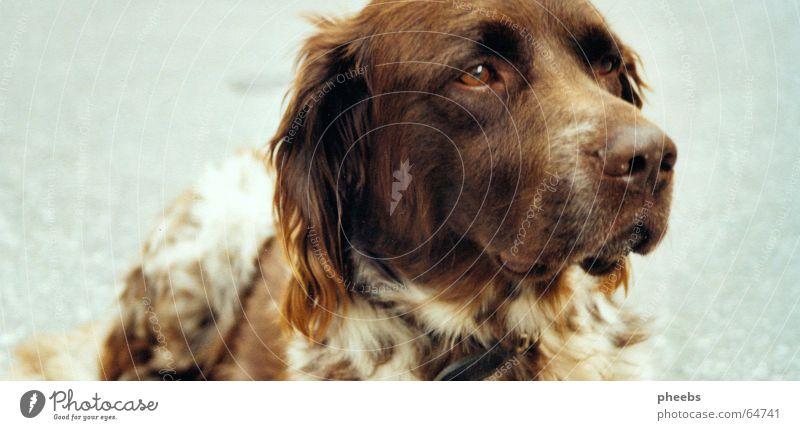 die beobachter sind überall... Tier Straße Hund braun Platz liegen Asphalt Fell bewegungslos Schnauze gehorsam stur Jagdhund zerzaust Starrer Blick