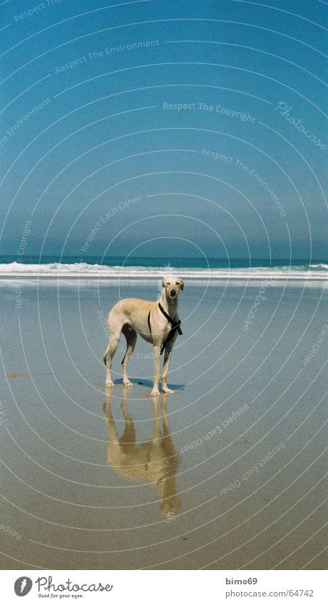 Strandläufer Hund Windhund Tier Meer Ferien & Urlaub & Reisen Wellen Zufriedenheit Platz Außenaufnahme Wasser Ferne Freiheit Tag