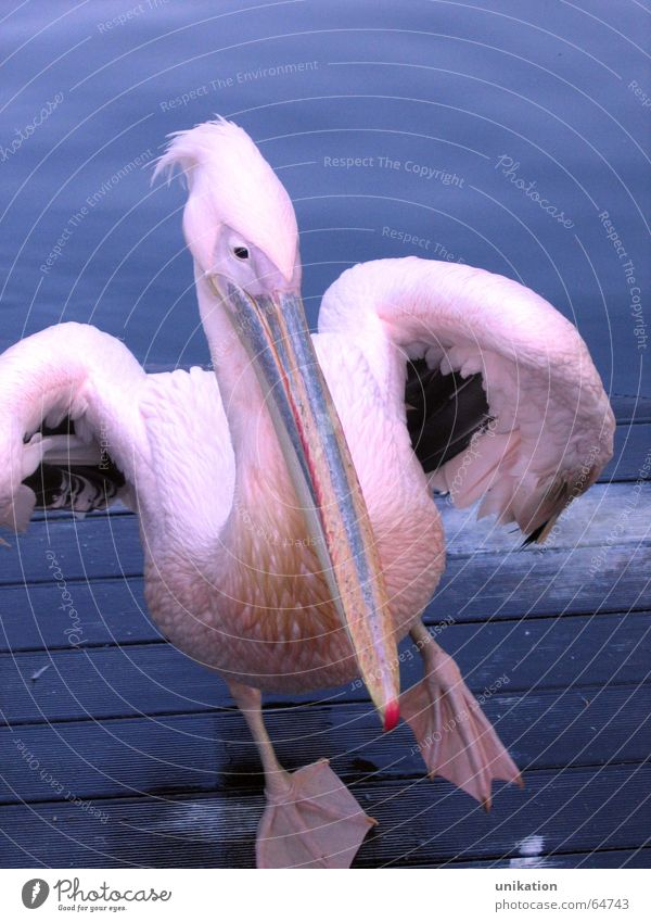 Walking on the Steg Wasser blau Tier Tanzen Vogel rosa violett Zoo Schnabel stagnierend Pelikan watscheln
