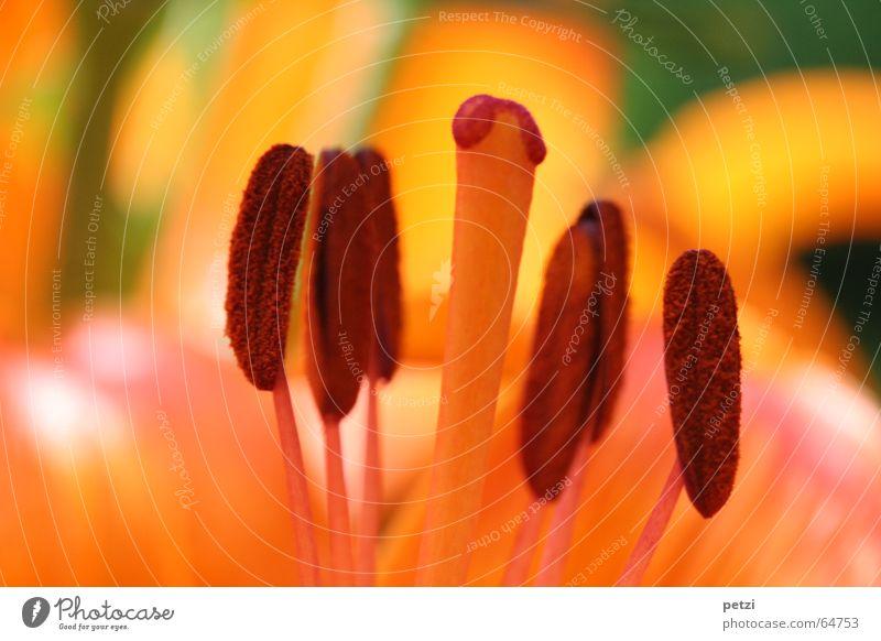 Orange Feuerlilie Leben Sommer Sonne Natur Pflanze Blume Blüte Wiese Rost braun gelb grün Lilien Liliengewächse Sommertag Fertilisation Blütenstiel flower lily