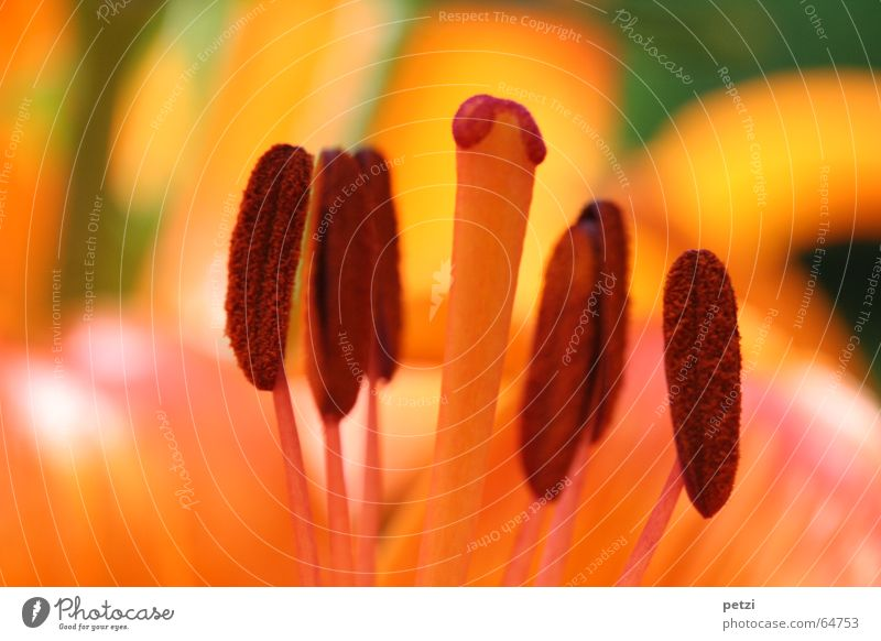 Orange Feuerlilie Natur grün Sonne Pflanze Sommer Blume gelb Leben Wiese Blüte braun orange Rost Lilien Staubfäden Blütenstiel