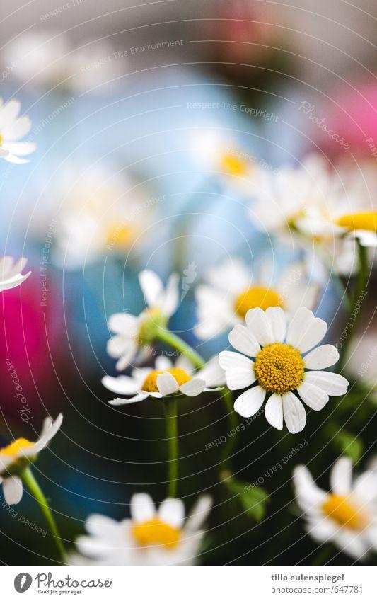 Frühlingsgefühl. Duft Pflanze Blume Blüte Wiese Blumenstrauß Blühend schön mehrfarbig Frühlingsgefühle Natur Vergänglichkeit Kamillenblüten Blütenblatt