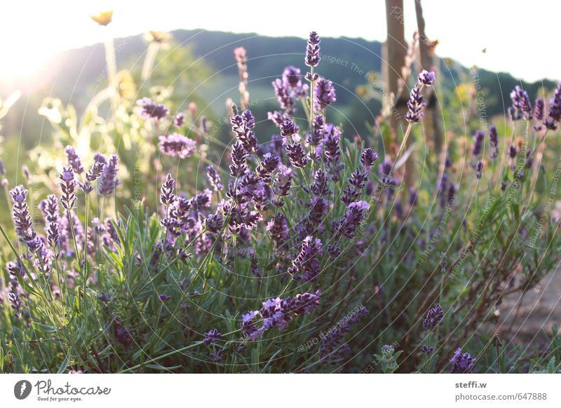 lavendel Schönes Wetter Pflanze Blume Blüte Garten Wiese Park genießen Blick träumen Wachstum warten Duft frisch wild grün violett Frühlingsgefühle authentisch