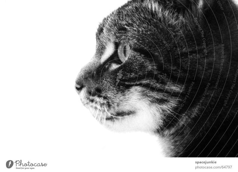 just a cat Katze Tier Katzenkopf Haustier Hauskatze Außenaufnahme Fell Wildnis Wildkatze Raubkatze Blick Auge Katzenauge Schwarzweißfoto katzenfell