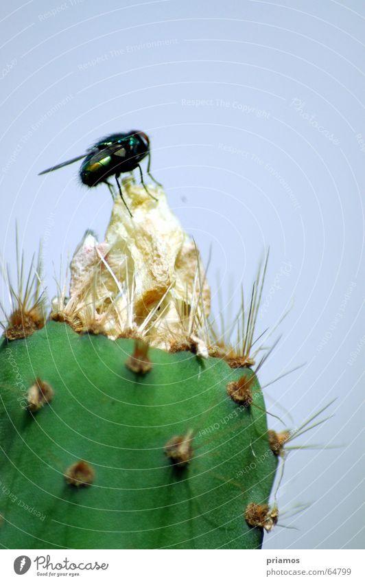 in Sicherheit Kaktus gefährlich Island Insekt Fliege Stachel Spitze bedrohlich Insel fly sharp cactus safety insect Makroaufnahme
