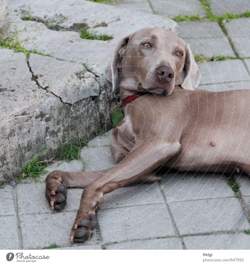 halbe Sachen | Tia... Tier Haustier Hund Weimaraner 1 liegen Blick authentisch Freundlichkeit schön einzigartig Neugier braun grau grün Zufriedenheit Vertrauen