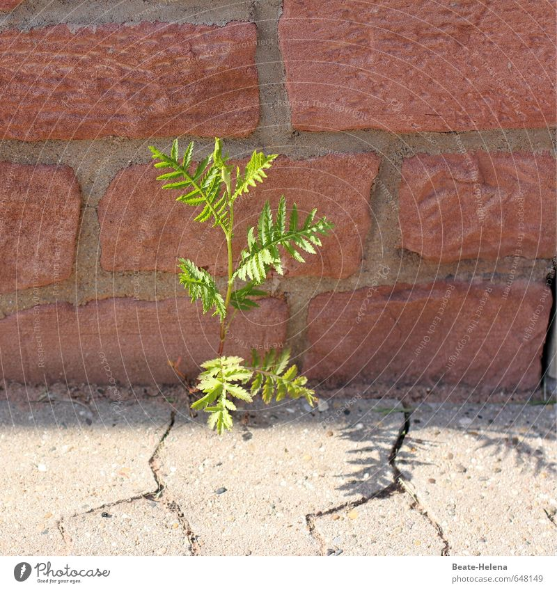 Kraft | wo ein Wille ist, da ist ein Weg Natur Pflanze grün rot Umwelt Wand Wege & Pfade Mauer grau außergewöhnlich Stein Sand Wachstum Erde authentisch
