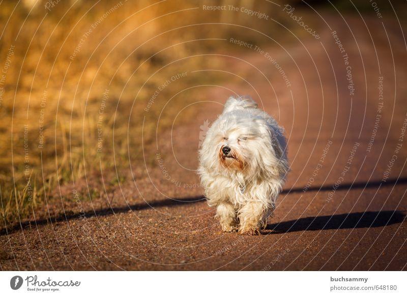 """Gute Stimmung Natur Erde Herbst Schönes Wetter Gras Tier Haustier Hund 1 gehen niedlich braun orange weiß 2014 """"Havaneser Bichon Vierbeiner Langhaar,"""" Farbfoto"""