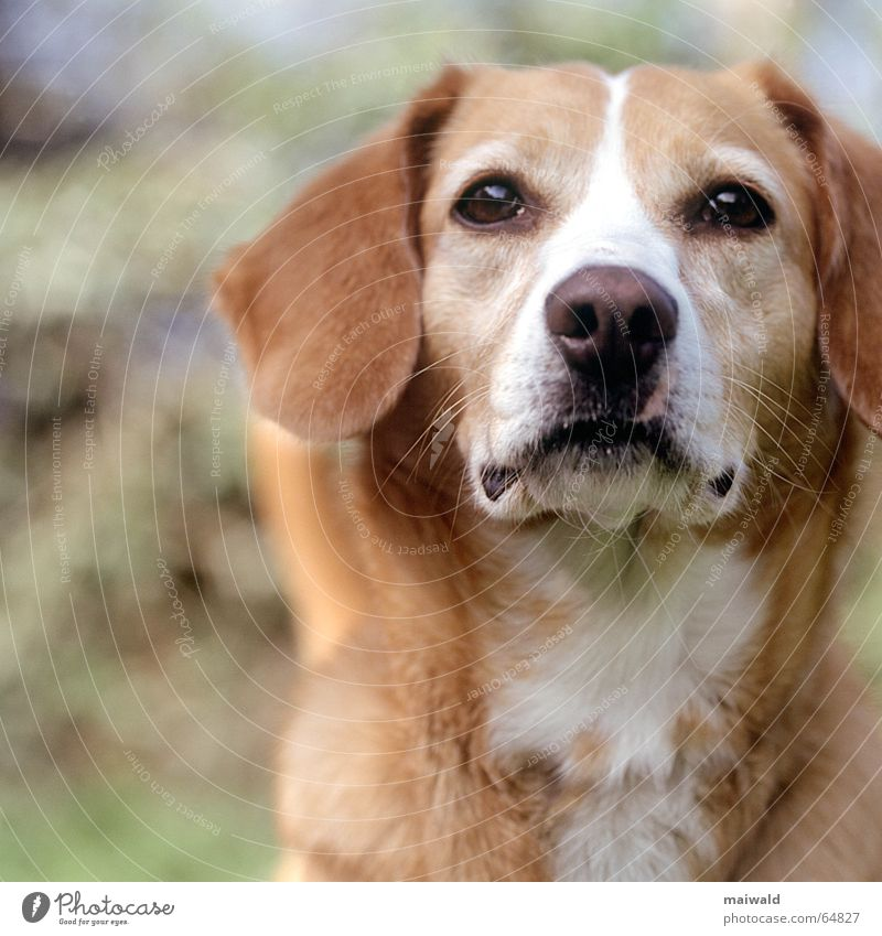Nelly Hund Tier braun Fell weich Blick grün Tiefenschärfe Schnauze Mischling Wiese Feld Wachsamkeit Wittern Verantwortung Außenaufnahme Natur herrchen