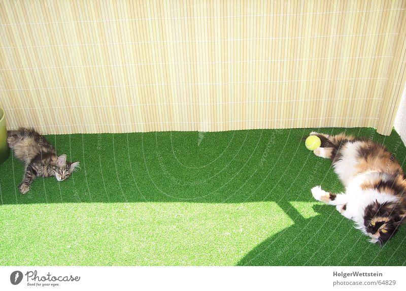 Sportliche Katzen Katze Sonne Tier Wiese Wärme Schönes Wetter Rasen Physik heiß Balkon Tennis bequem Hauskatze Kunstrasen Tennisball Perserkatze
