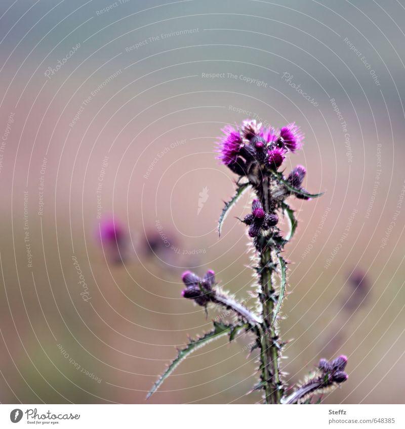 thistle Natur Landschaft Pflanze Sommer Wildpflanze Zeichen Blühend Wachstum natürlich schön stachelig grün rosa achtsam Stachelige Kratzdistel Distel