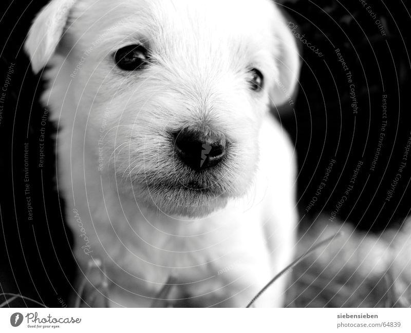 Zwerg Welpe Nachkommen Lebewesen weich Wicht Blick kulleräugig Tier Mensch Hund winzig Fell Haustier klein schwarz Säugetier Schwarzweißfoto vierbeiner Auge
