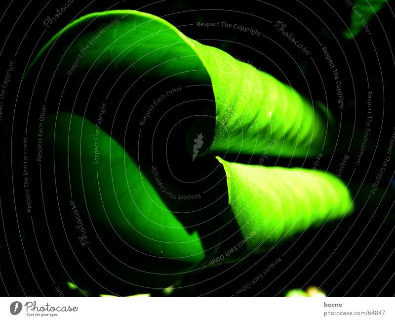 grünes Röllchen Blatt Seerosen Seerosenblatt Licht Teich Rolle Schatten Natur eingerollt röllchen Garten geheimnisvoll verstecken