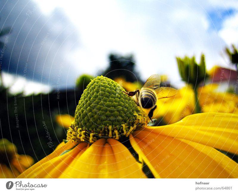 Summertime Himmel Sonne Blume Sommer Wolken Ernährung gelb Blüte Insekt Pollen Honig Wespen