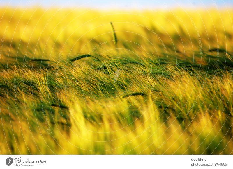 getreidefeld im sonnengelb Himmel Sonne grün gelb Stimmung Feld Getreide Abenddämmerung Weizen