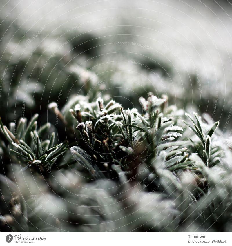 Saisonüblich. Natur Pflanze grün weiß Winter schwarz kalt Umwelt natürlich Eis Frost Hecke