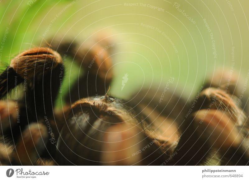 Arachnophobie Natur grün Tier schwarz Schnee Behaarung Angst orange gefährlich bedrohlich Todesangst gruselig exotisch krabbeln Ekel Spinne