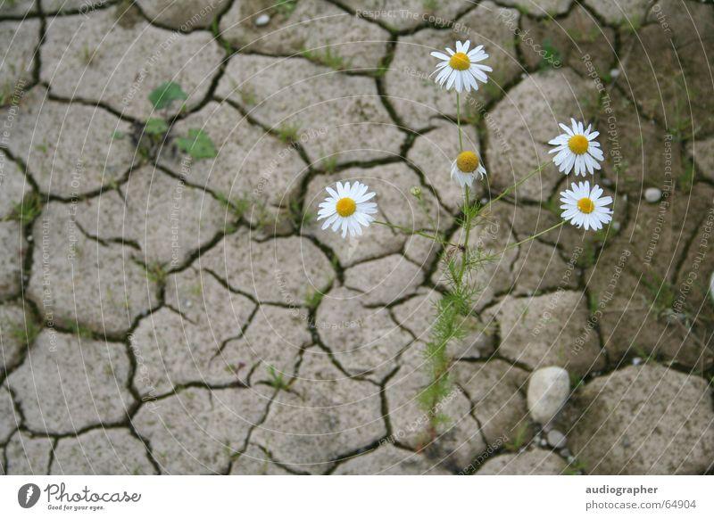 begnügsam Natur weiß grün Pflanze Blume Einsamkeit gelb Farbe Sand Stein braun Erde Kraft Hoffnung Trauer Wüste